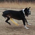016-chien-frisbee