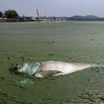 017-poisson-mort-algues-east-lake-wuhan