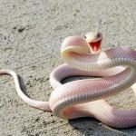 serpent albinos