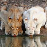 lionne albinos