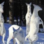 cerfs albinos