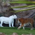 tigre albinos