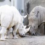rhinoceros albinos