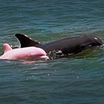 dauphin albinos