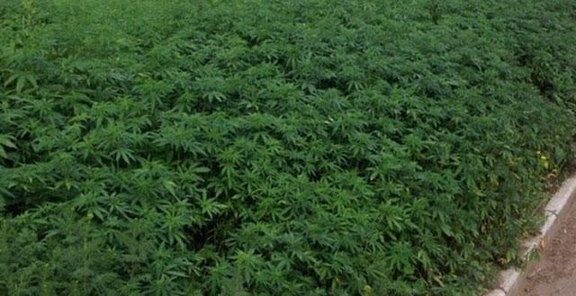 cannabis russie