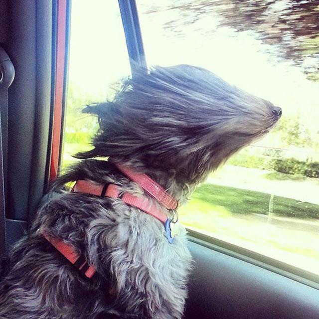 chien voiture vent