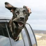 chien voiture fenetre