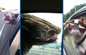 chien face au vent voiture