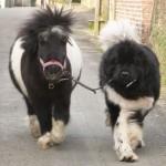 mini-chevaux-4