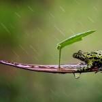 grenouille sous la pluie