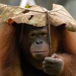 singe sous la pluie
