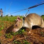 rat-demineur