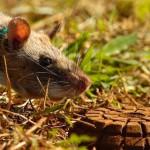 rat mine