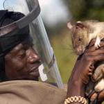 rat-demineur-8
