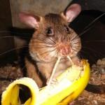 rat mange banane