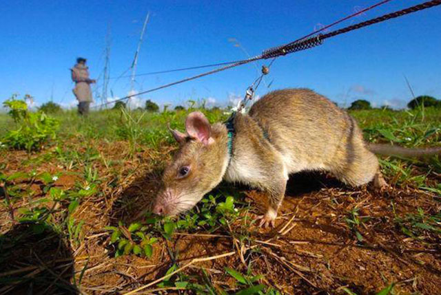 rat démineur