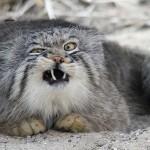 chat de Pallas drole