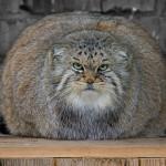 chat de Pallas gros