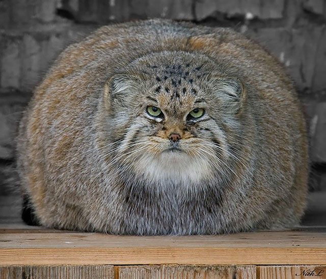 chat de Pallas
