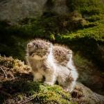 chaton de Pallas