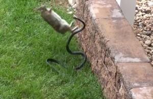 lapin vs serpent