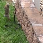 lapin contre serpent
