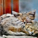 chat-des-sables (10)