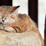chat-des-sables (3)