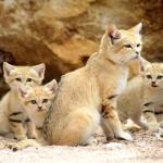 chat-des-sables (4)