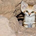 chat-des-sables (6)