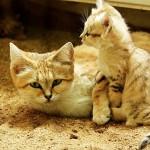 chat-des-sables (7)