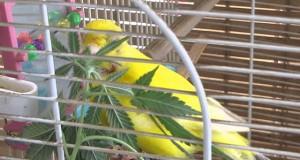 canari cannabis